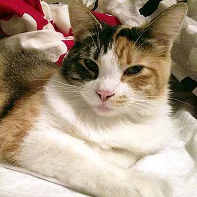 FEATURE CAT: Nilah is an adorable cat. She will be a bit shy at first, but when she comes out of her shell, she is quite the social butterfly.  READ MORE