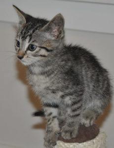 kittens_7_tabby_1